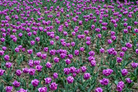 Purple Tulips (Pitești, Romania, April, 2018)